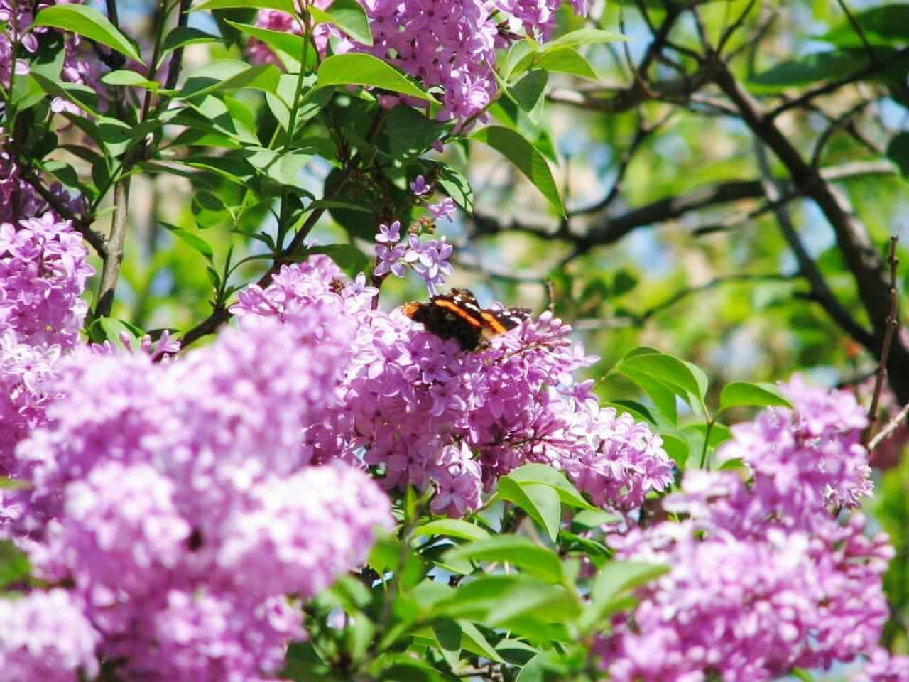 flower, growth, one animal, purple, insect, nature, fragility, freshness, beauty in nature, animals in the wild, animal themes, plant, no people, pollination, petal, pink color, outdoors, day, bee, blooming, lilac, flower head, close-up