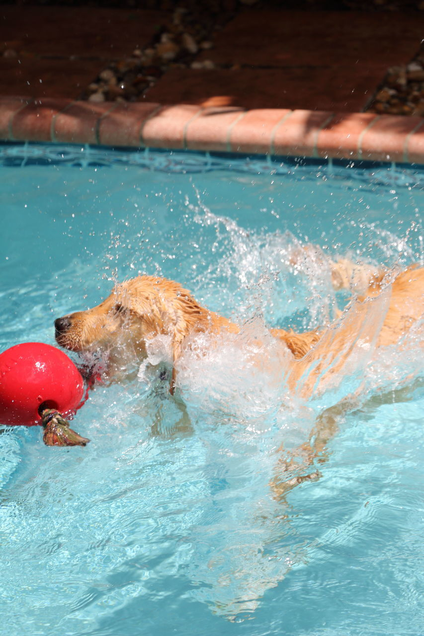 High Angle View Of Dog Swimming With Red Buoy In Swimming Pool