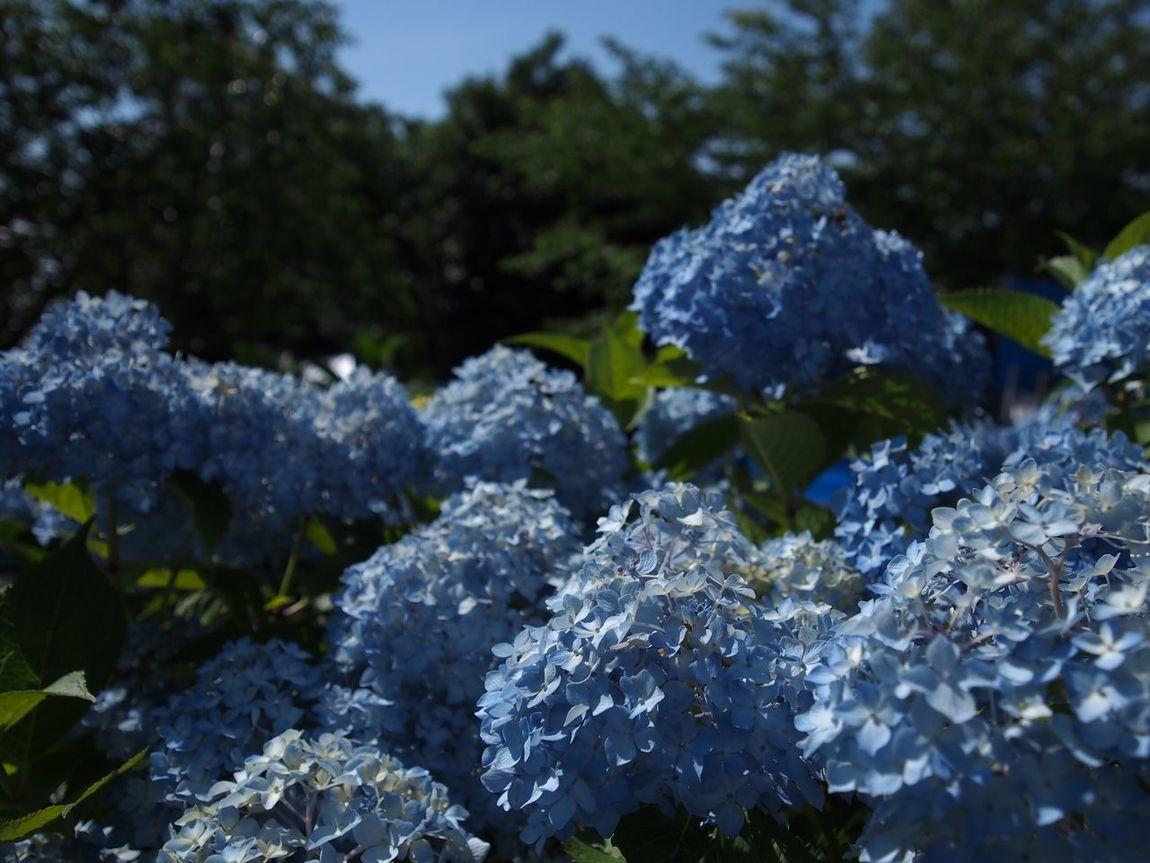 2017.06.17 愛知県 蒲郡市 形原温泉あじさいの里 アジサイ祭り