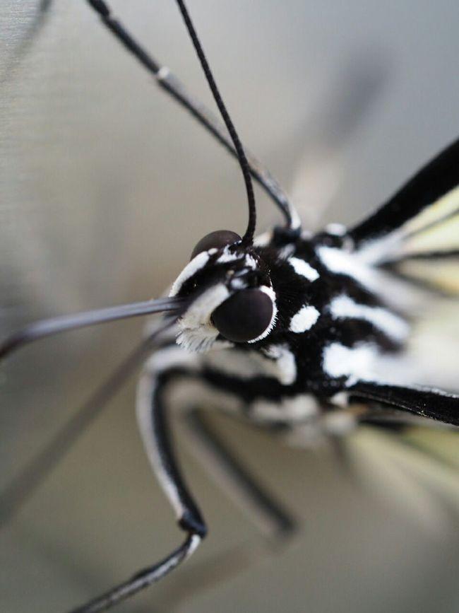 Insect Butterfly Blackandwhite Nature EyeEm Nature Lover Taking Photos Macro Macro Photography Walking Around In The Park 黒目勝ち、と言うか黒目しかない(笑)。