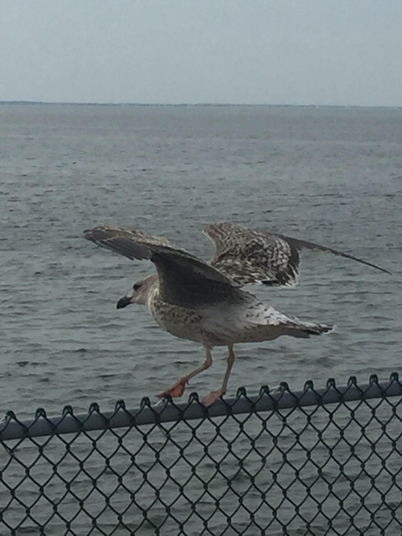 Landing or taking off? Seagulls Chesapeake Bay ChesapeakeBayBridgeTunnel