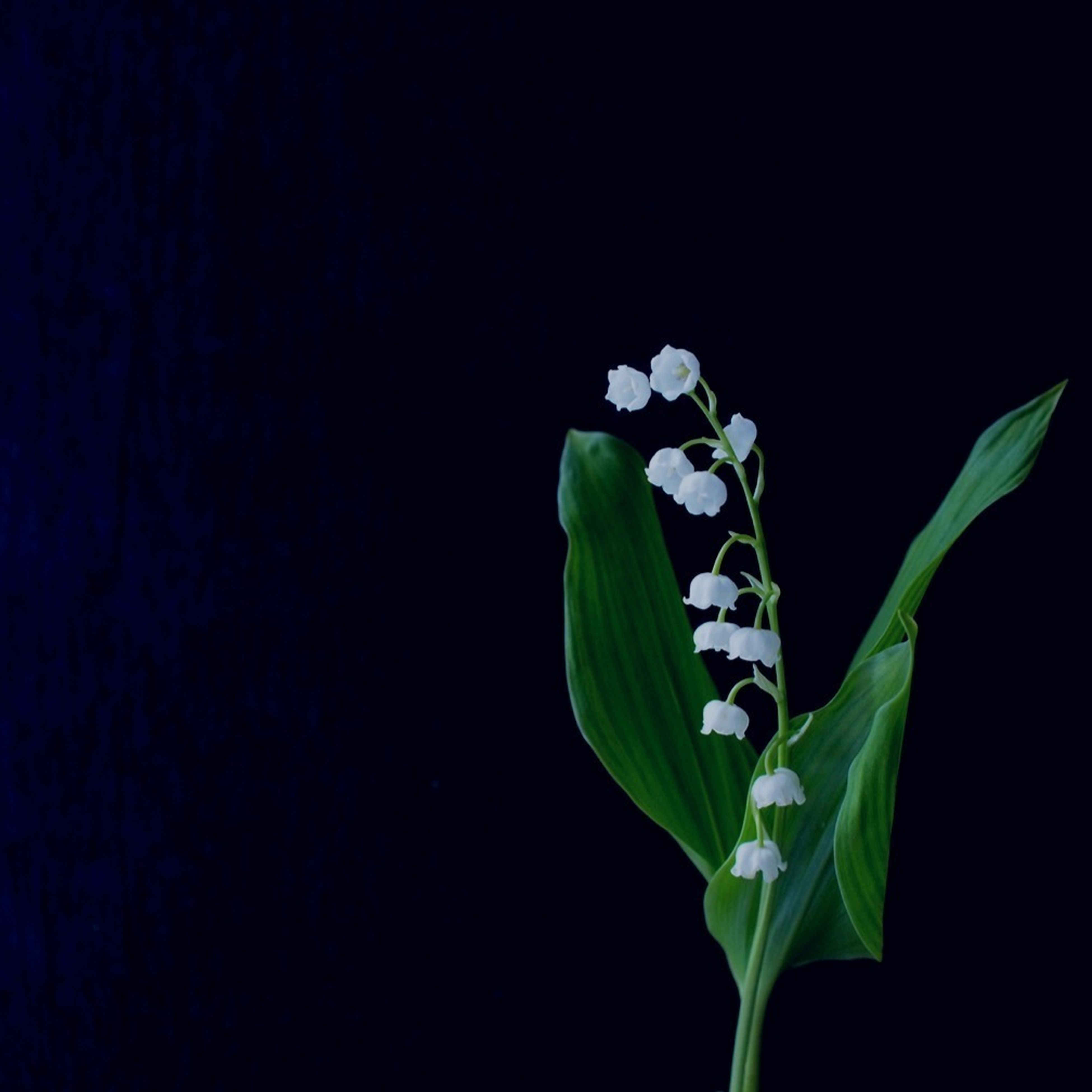studio shot, leaf, black background, copy space, flower, growth, plant, freshness, stem, fragility, close-up, nature, beauty in nature, petal, green color, bud, no people, cut out, botany, white color
