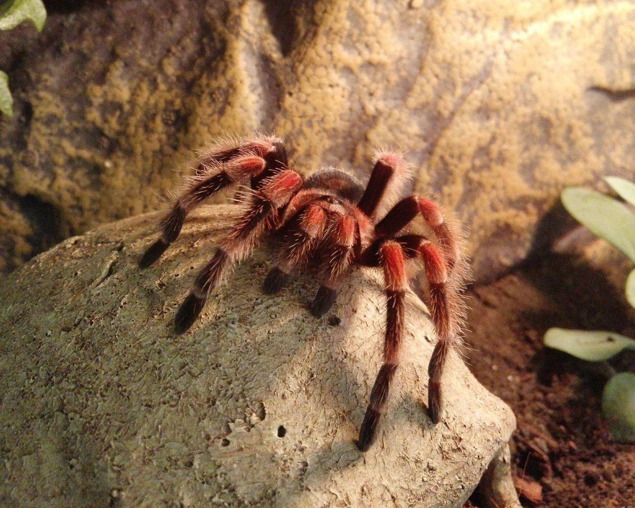 Spinne Marie - Brachypelma Smithi Vogelspinne Brachypelma Tarantula