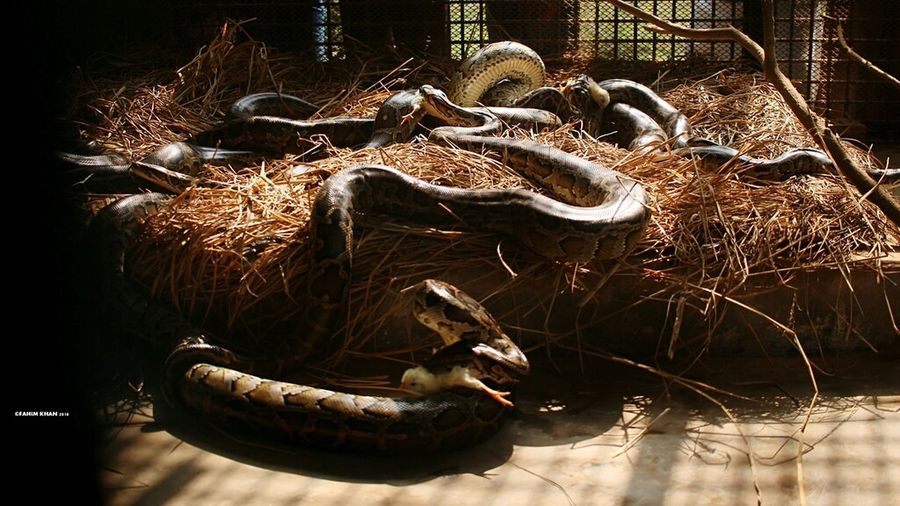 Canon 70d Taking Photos Canonphotography Showcase: January January2016 Mirpurzoo Zoo Animals  Python