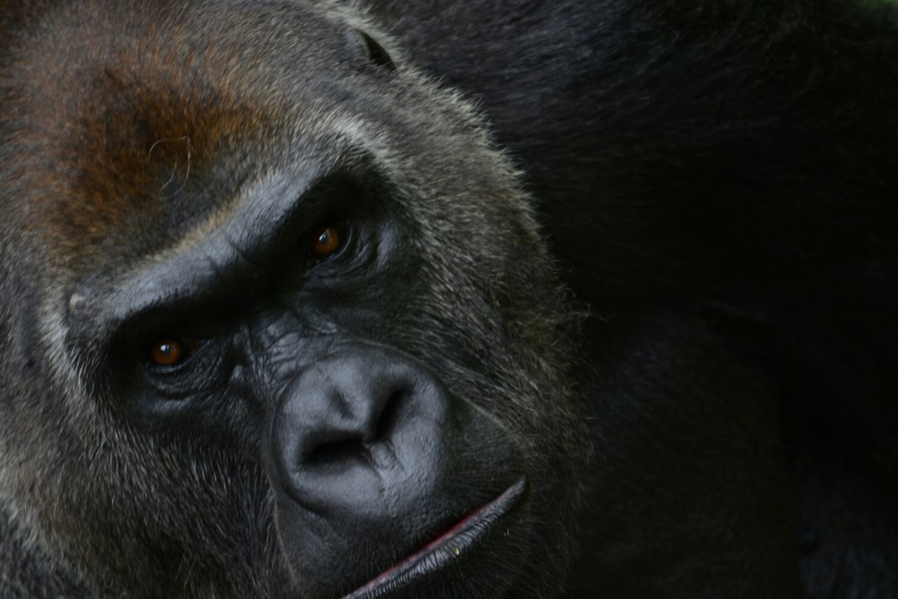 Beautiful stock photos of gorillas, Animal Themes, Animals In The Wild, Close-Up, Day