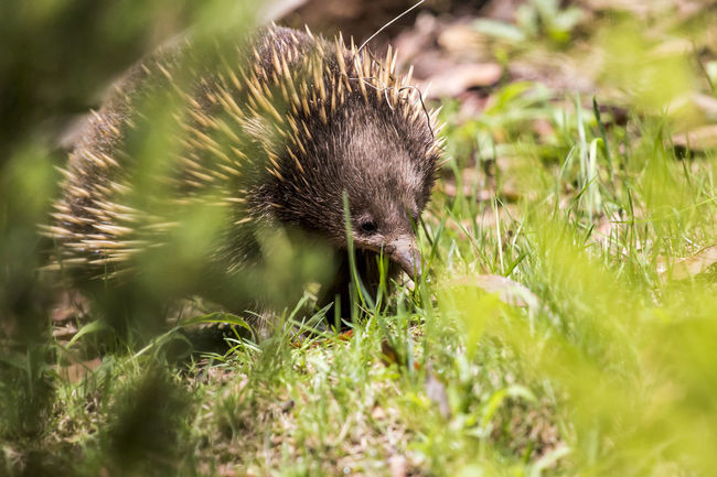 An echidna that decided to visit our garden. Taken in the Yarra Ranges in Victoria, Australia. Animal Anteater Australia Australian Beauty In Nature Echidna Garden Grass Nature No People One Animal Outdoors Plant Selective Focus Wildlife