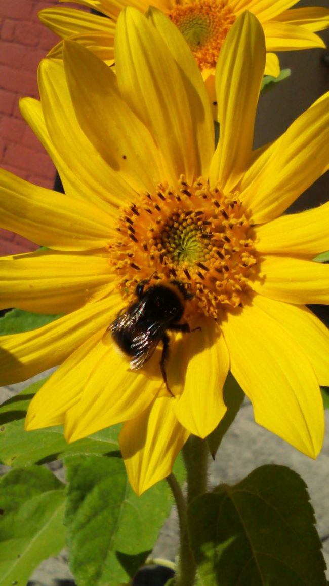 Put your right leg in, right leg out Green Leaves Leaves Buzzing Bee Buzzing Buzz Insect Insect With Wings Nature Yellow Petals Yellow Flower Yellow Flower Bumblebee On Sunflower Sun Flower Sunflower Collecting Pollen Bumblebee On Flower Bumblebee Flower HeadBumble Bee Bee Colour Of Life Wings Botany Flower Collection