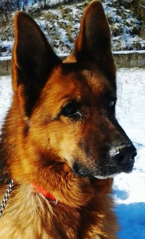 kuba sulla neve Dog