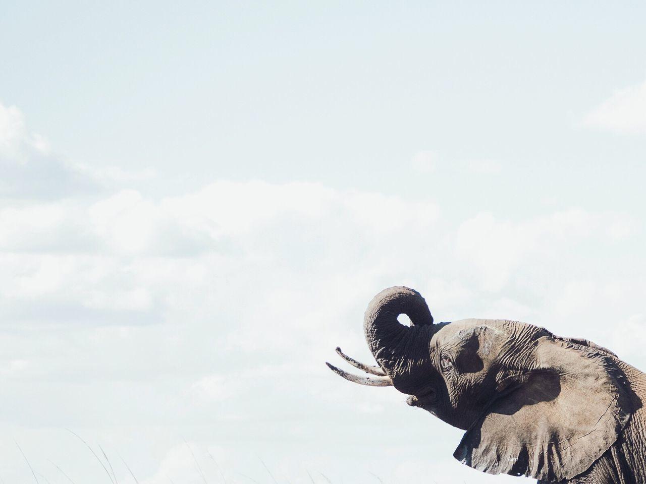 Happy elephant! Nature Elephant Botswana Outdoors Sky No People Animal Themes Day Tusks And Trunk