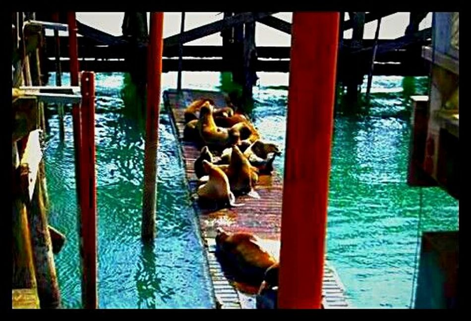 Animal Themes Water Swimming Animals In The Wild Mammal Stellar Sea Lions Oregoncoast Newport Oregon Oregon Explored Pacific Ocean Pacific Northwest  On The Docks Sea Lions Sun Bathing Napping Like Kings King Of The Dock! King Of The Docks Newport Oregon The Docks Oregonlife Still Life Photography EyeEm Gallery Getty Images Great Northwest Shootermag Streemzoofamily EyeEmNewHere Flying High