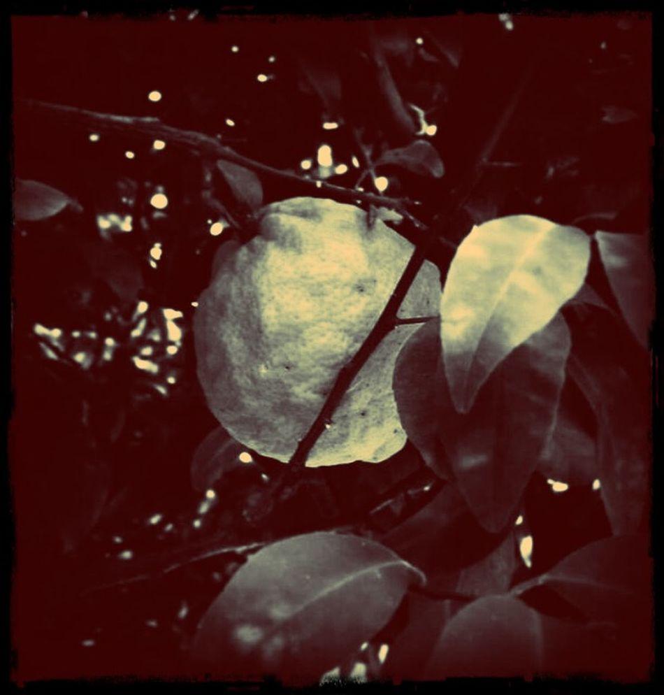 Late Afternoonnoon Lemon Lemon Tree August Afternoon