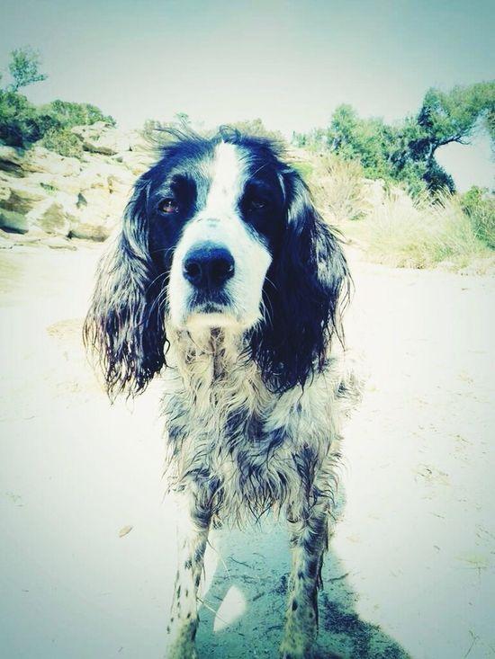 Dog English Setter Setter Anglais