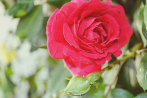 Flower Rose - Flower Petal Flower Head Nature Fragility Beauty In Nature Freshness Plant Growth No People Close-up Blooming Outdoors Day