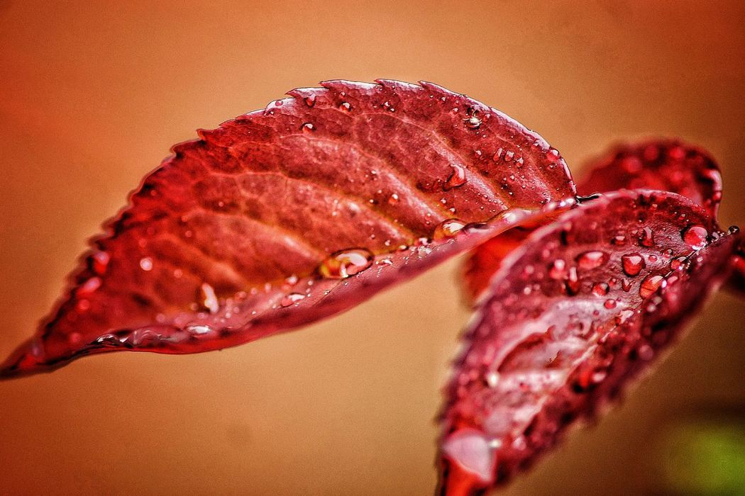 Droplets Drops Of Water Rainy Drops Droplets Collection No People Close-up Red Nature Day Outdoors Freshness From My Point Of View Taking Photos Check This Out EyeEm Nature Lover Rainy Day Make EyeEm A Troll-Free Zone! RainDrop Leaf Drop