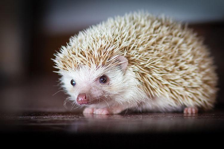 #African Hedgehog #Hedgehog #Pets #White #beautiful #cute #pet Pet Portraits Animal Themes Close-up Indoors  Nature