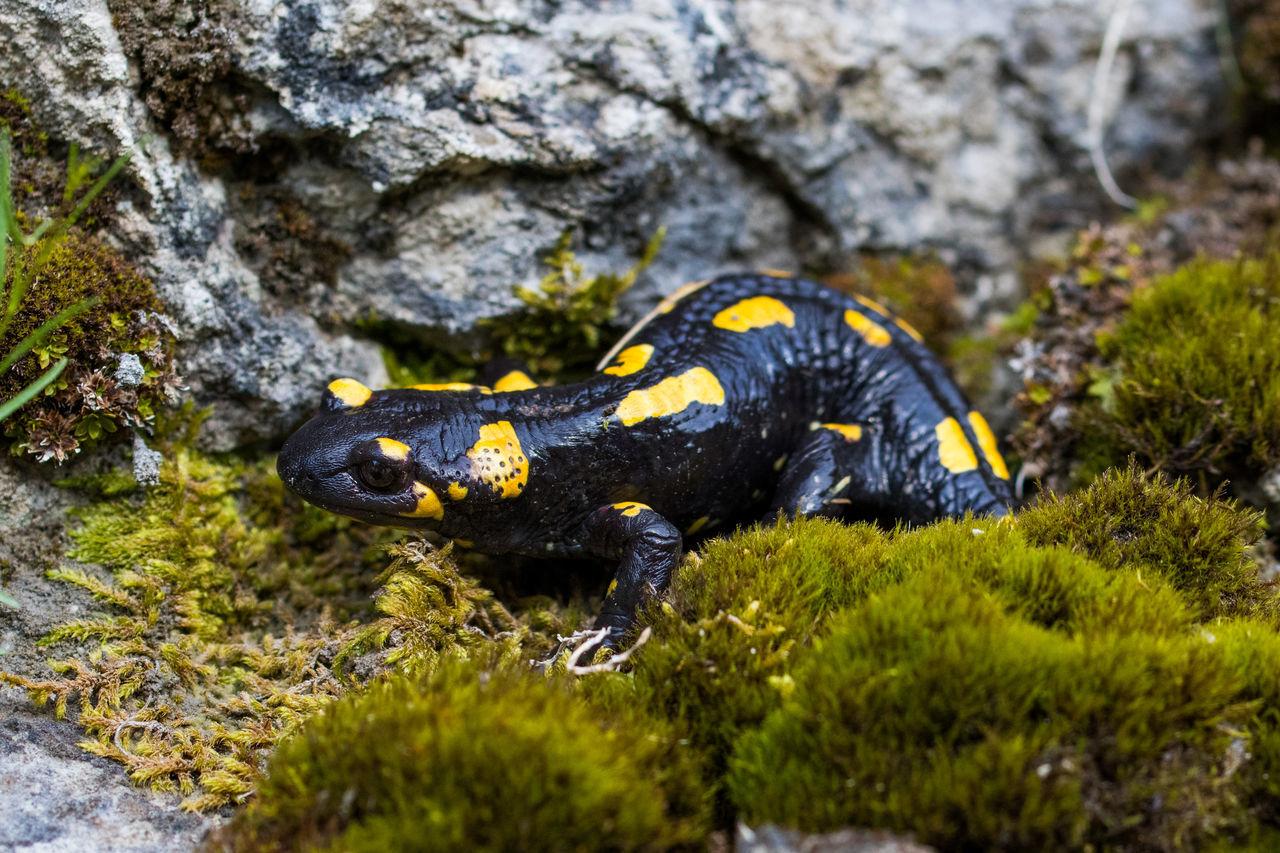 Salamander after the rain Amphibian Animal Themes Beauty In Nature Moss Nature Salamander Salamandra Salamandra