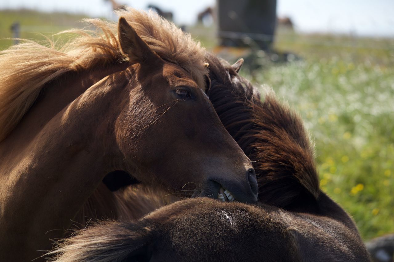 Iceland Hugs Horses Pony Meadow Friends Two Is Better Than One