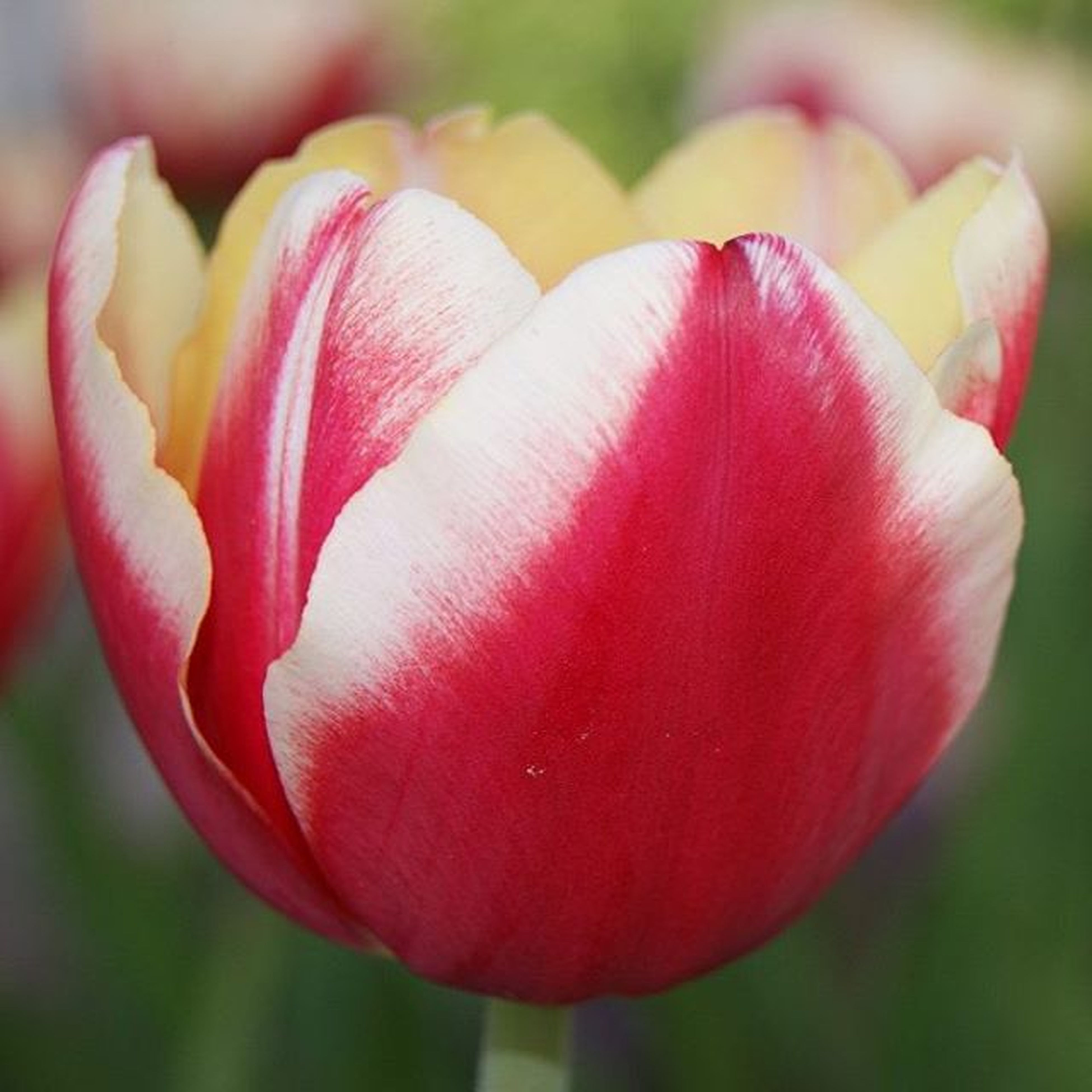 flower, petal, freshness, flower head, fragility, beauty in nature, growth, close-up, tulip, pink color, focus on foreground, nature, single flower, blooming, plant, in bloom, blossom, selective focus, red, stem