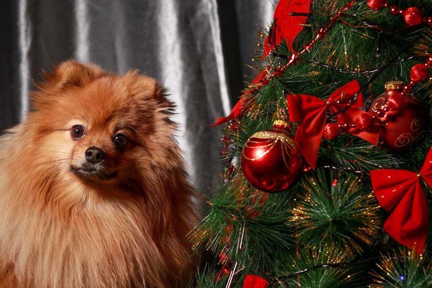 Dog❤ EyeEm Selects Dog Portrait Christmas Christmas Tree Christmas Decoration Tree Celebration Christmas Ornament Indoors