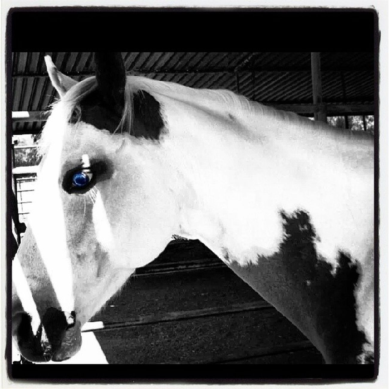 Beautiful Horse Blie Eye