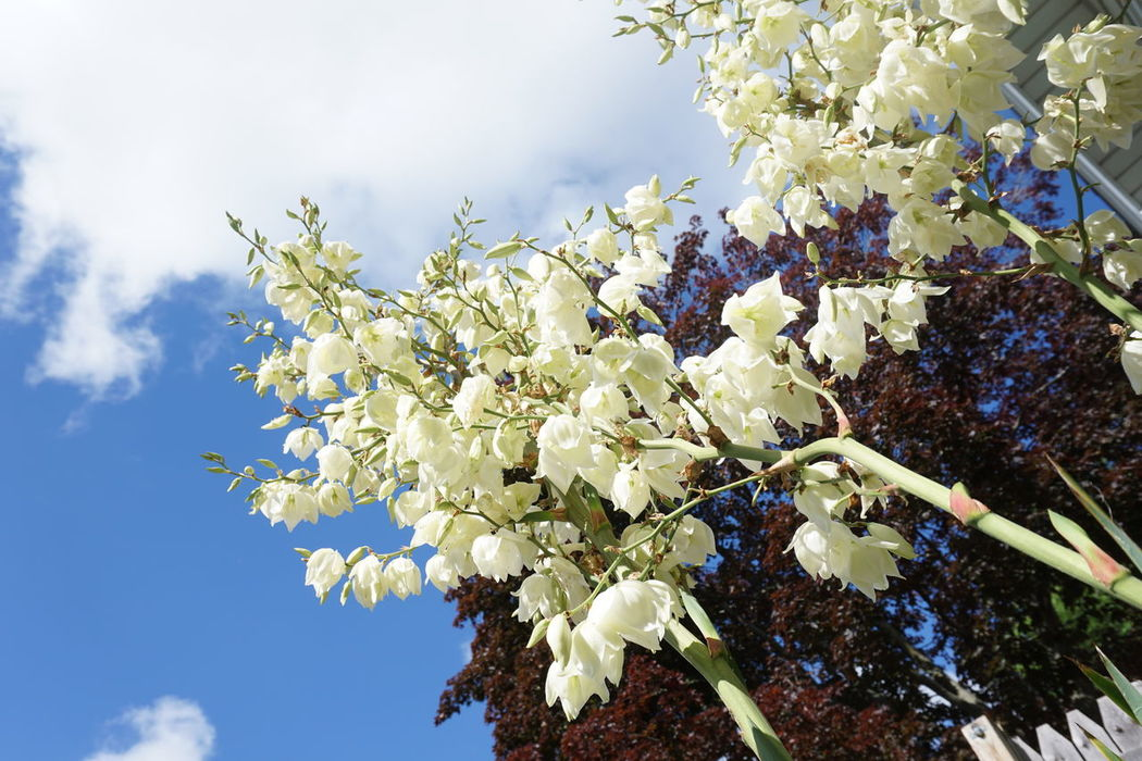 Skyward view of flowering Yucca Beauty In Nature Blooming Blossom Branch Close-up Day Flower Flower Head Fragility Freshness Growth Low Angle View Nature No People Outdoors Petal Red Maple Tree Scented Sky Tree White Clouds And Blue Sky White Color Wisconsin Yucca Yucca Flower