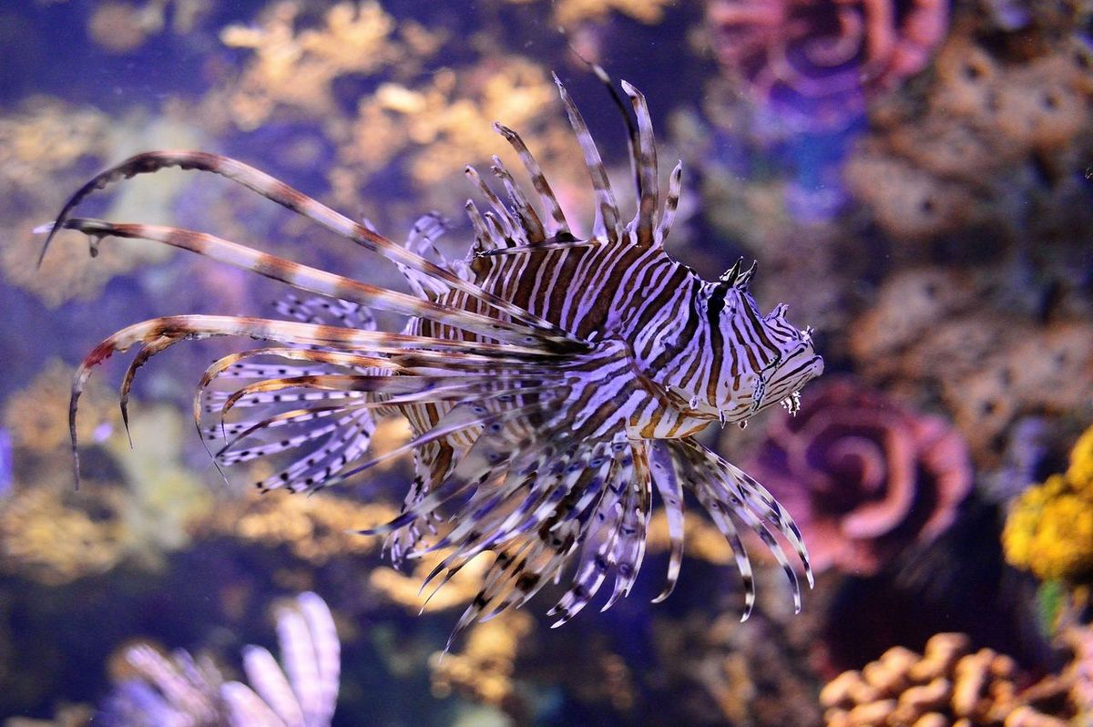 Aquarium Beauty In Nature Close-up Fish Lionfish Nature No People Pterois Water