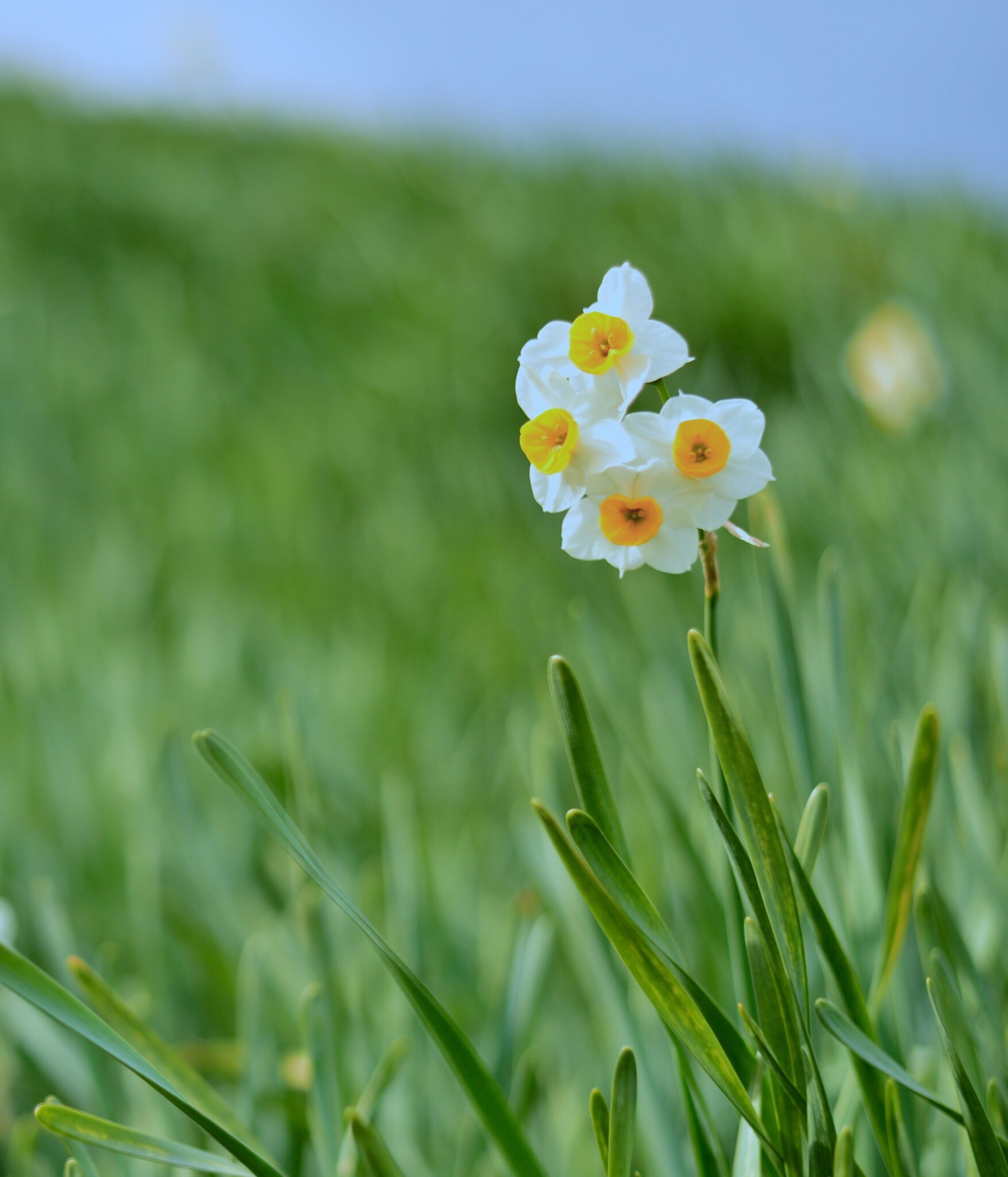 flower, freshness, growth, fragility, field, beauty in nature, petal, focus on foreground, flower head, blooming, nature, plant, grass, green color, close-up, yellow, white color, in bloom, selective focus, stem