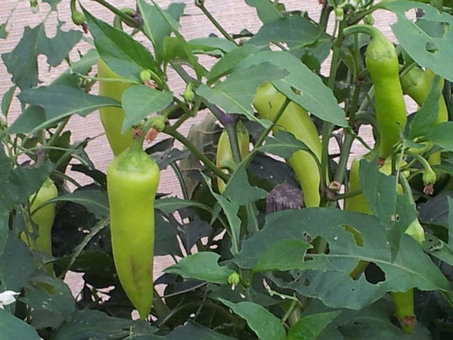 Peppers. Food fresh. Hot Spices Nature