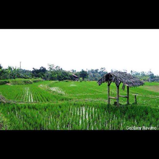Hanya pemandangan sawah dengan suasana yang tenang Indonesianphotos D3200nikon Photograph Nikon Indonesian_photography Photography Indonesian_photographer