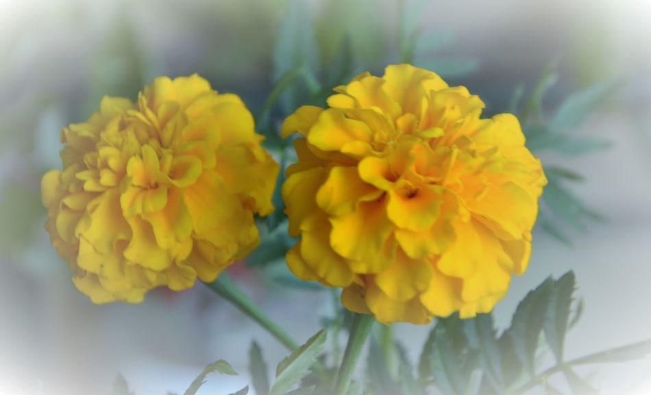 Carnation Carnation Flowers Carnations Nursery Flowers Two Carnation Yellow Yellow And White Yellow Carnation Flowers Yellow Cornations Yellow Flowers Gelbe Blumen🌾 Nelken Gelbe