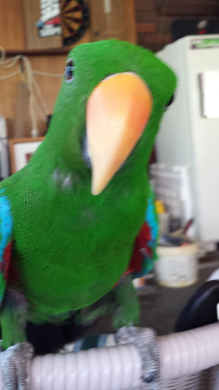 indoors, green color, close-up, no people, multi colored, bird, animal themes, parrot, mammal, day