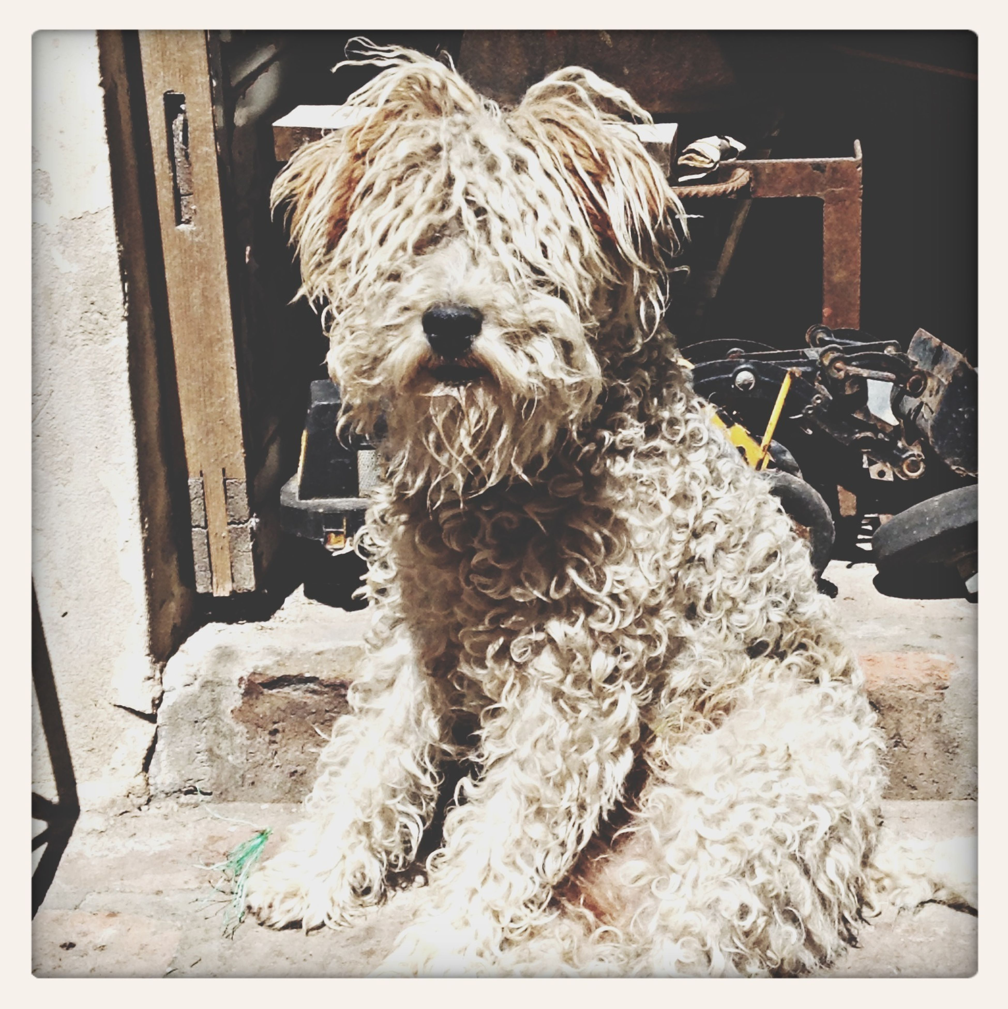 transfer print, one animal, auto post production filter, animal themes, domestic animals, mammal, pets, building exterior, built structure, front view, outdoors, architecture, sitting, day, full length, portrait, no people, close-up, looking at camera, dog