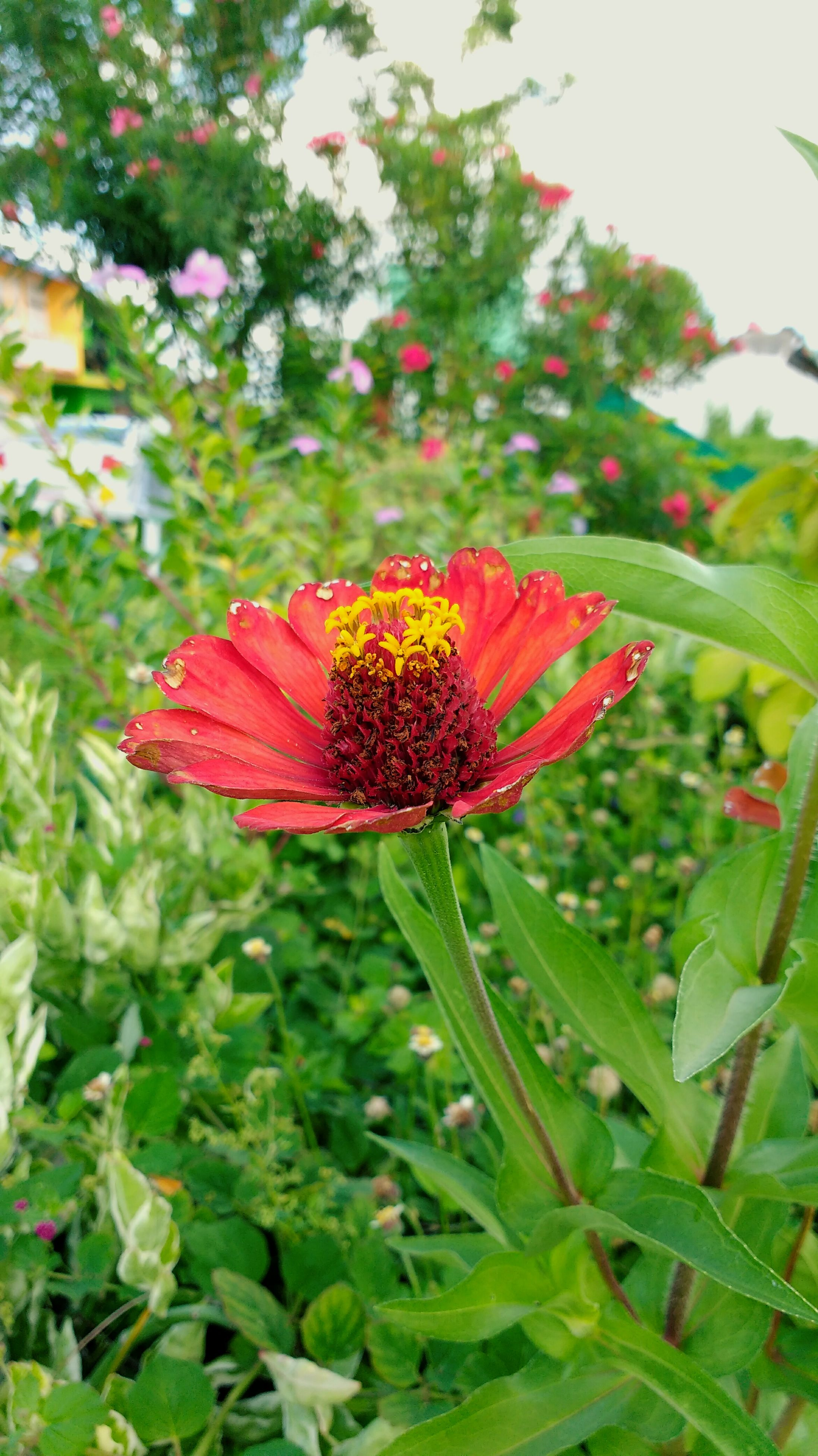 flower, freshness, fragility, growth, petal, flower head, beauty in nature, close-up, focus on foreground, red, nature, single flower, vibrant color, springtime, in bloom, blossom, stamen, plant, park - man made space, botany, green color, blooming, day, pollen, outdoors, exoticism, bloom, no people, coneflower