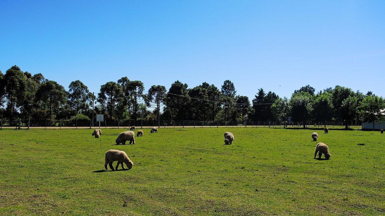 Animal Themes Clear Sky Day Domestic Animals Entre Rios Grass Green Color Landscape Livestock Mammal Nature No People Outdoors Santa Anita Sky Tree