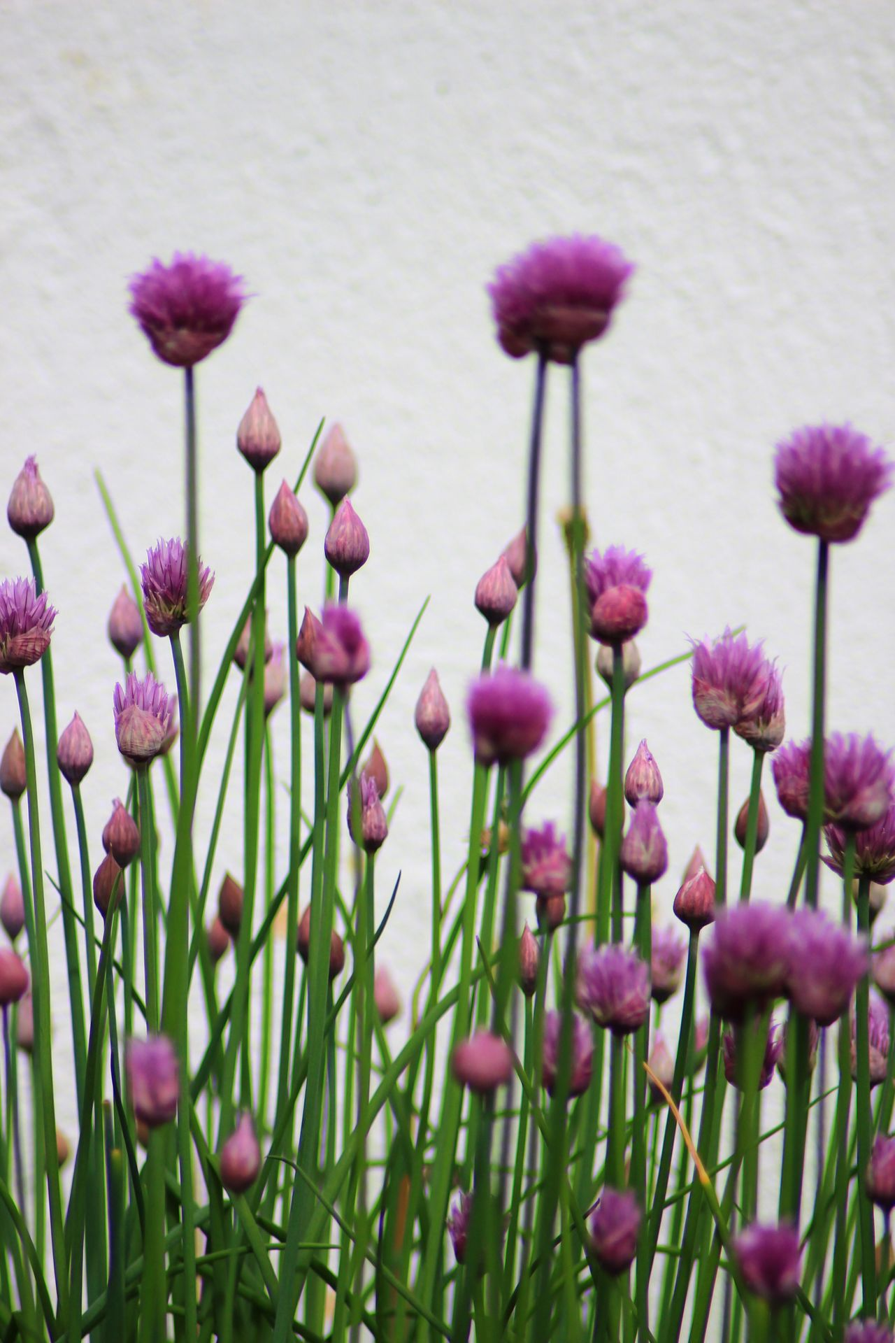 Growth Flower Nature Plant Purple No People Beauty In Nature Blooming Close-up Outdoors Fragility Freshness Day Gressløk Chives Food Herbes