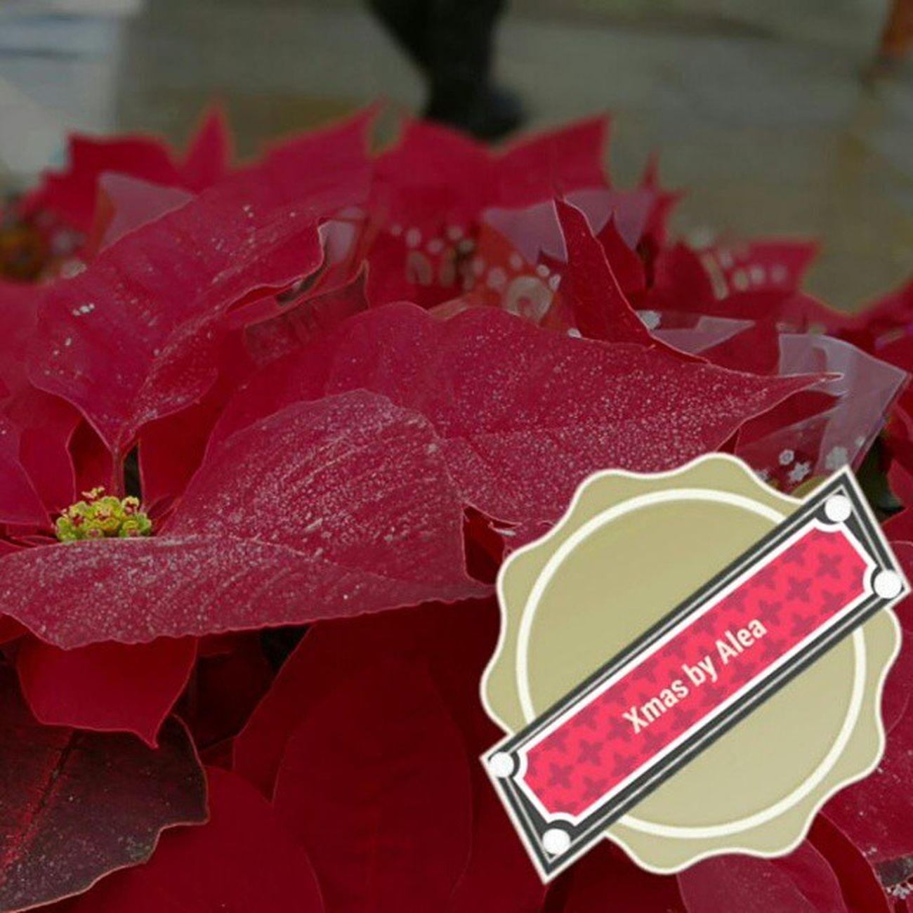Xmas by Alea Alea Aleafloristerias Xmas Navidad Flordepascua Poinsettia Red