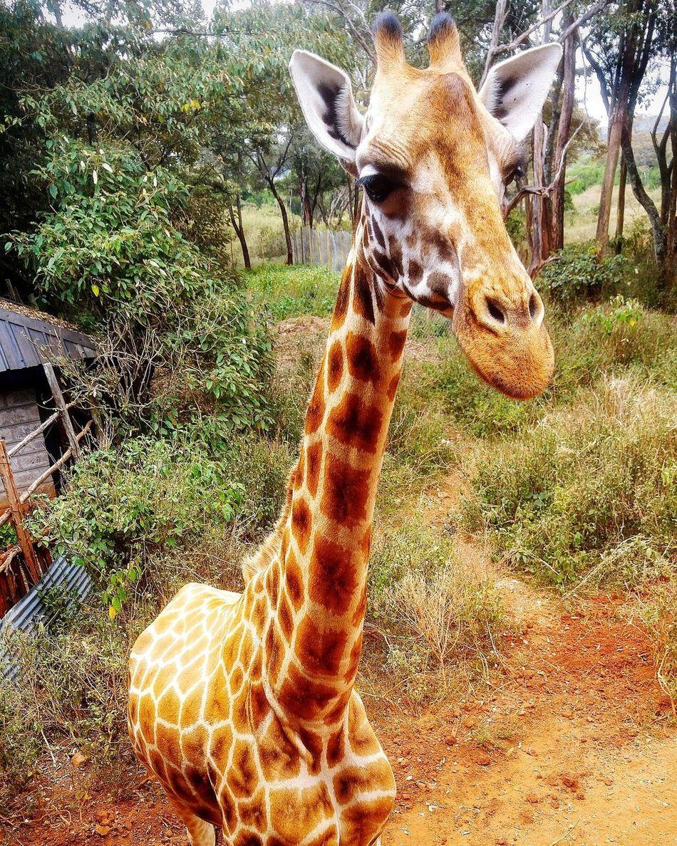 Giraffa Giraffe Girafe Kenya NairobiKenya GirafeOphanage Life Nature Animal Preserve