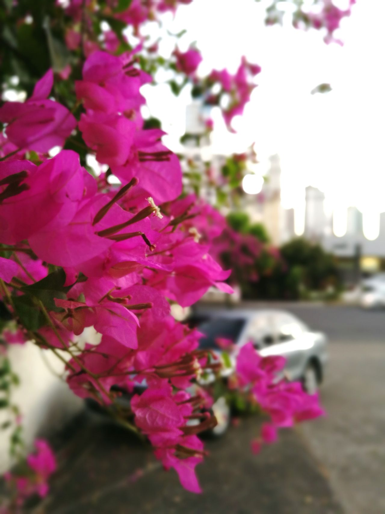 Flower City Pink Color Outdoors Cityscape No People Day Close-up Macro Pink Pink Flower Rosado Rosé City Flowers Contraste Panamá Panama City Verano Summer Colores De La Naturaleza Nature_perfection Nature Adapted To The City