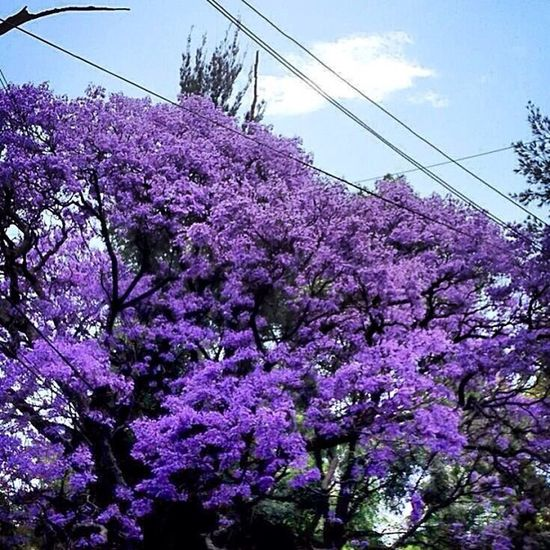 Gran árbol nacional ElSalvador  Centroamerica LaLibertad Maquilishuat Simbolonacional Apamate Roble Morado árbol Nativo Bosques ...!!😊