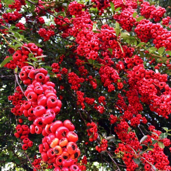 Exotic Red Fruit Tree . Exotico Fruta Exotica Exotic Fruit Fruta Fruto Arvore Arvore Colour Of Life Festival Season Color Palette
