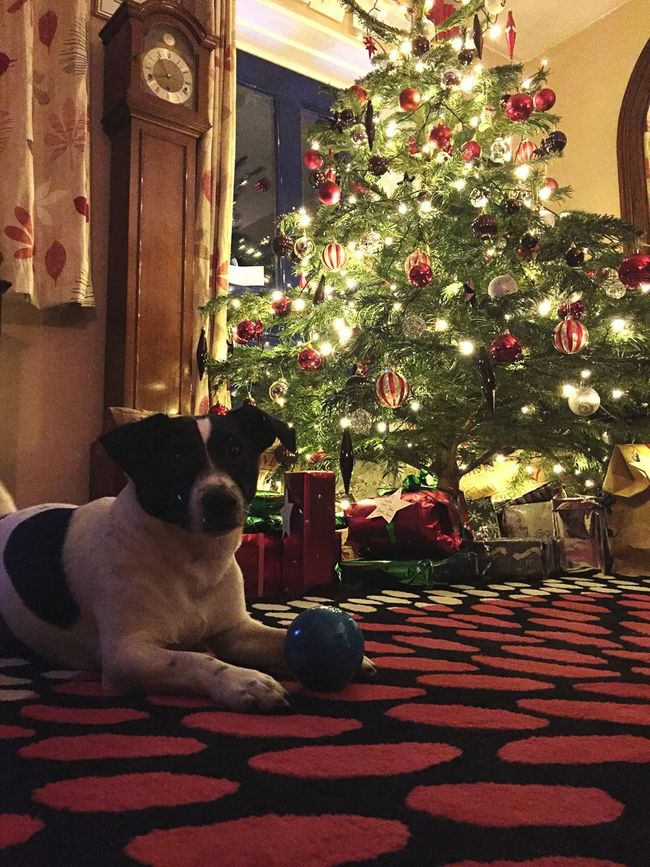 Jackrussellterrier Jack Russell Christmas Tree Christmas Time Christmas