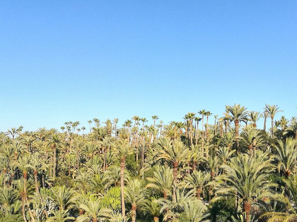 SPAIN España Elche Alicante Palmeras Palmeral Palmeral De Elche Blue Sky And Trees Blue Sky Nature Clear Sky Growth Sky Nature Agriculture Farm Day No People Tranquility Beauty In Nature Outdoors Field Tree Scenics