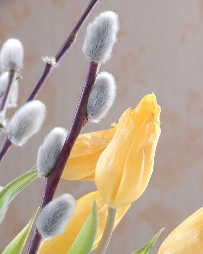 Palm sunday 🌞🌞🌞 PalmSunday Pussywillow Tulpe Tulip Flowers Fotofanatics_flowers_ Ig_flowers Loves_flowers_ Amateurs_shot Best_free_shot Total_shot Latvija Latvia Versatile_photo_ Global_ladies Global_beautiful_pictures Heart_imprint Prettiestpastels Pastel