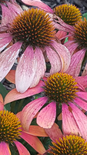 Flower Flower Head No People Fragility Beauty In Nature Nature Plant Growth Day Outdoors Freshness Eastern Purple Coneflower Close-up