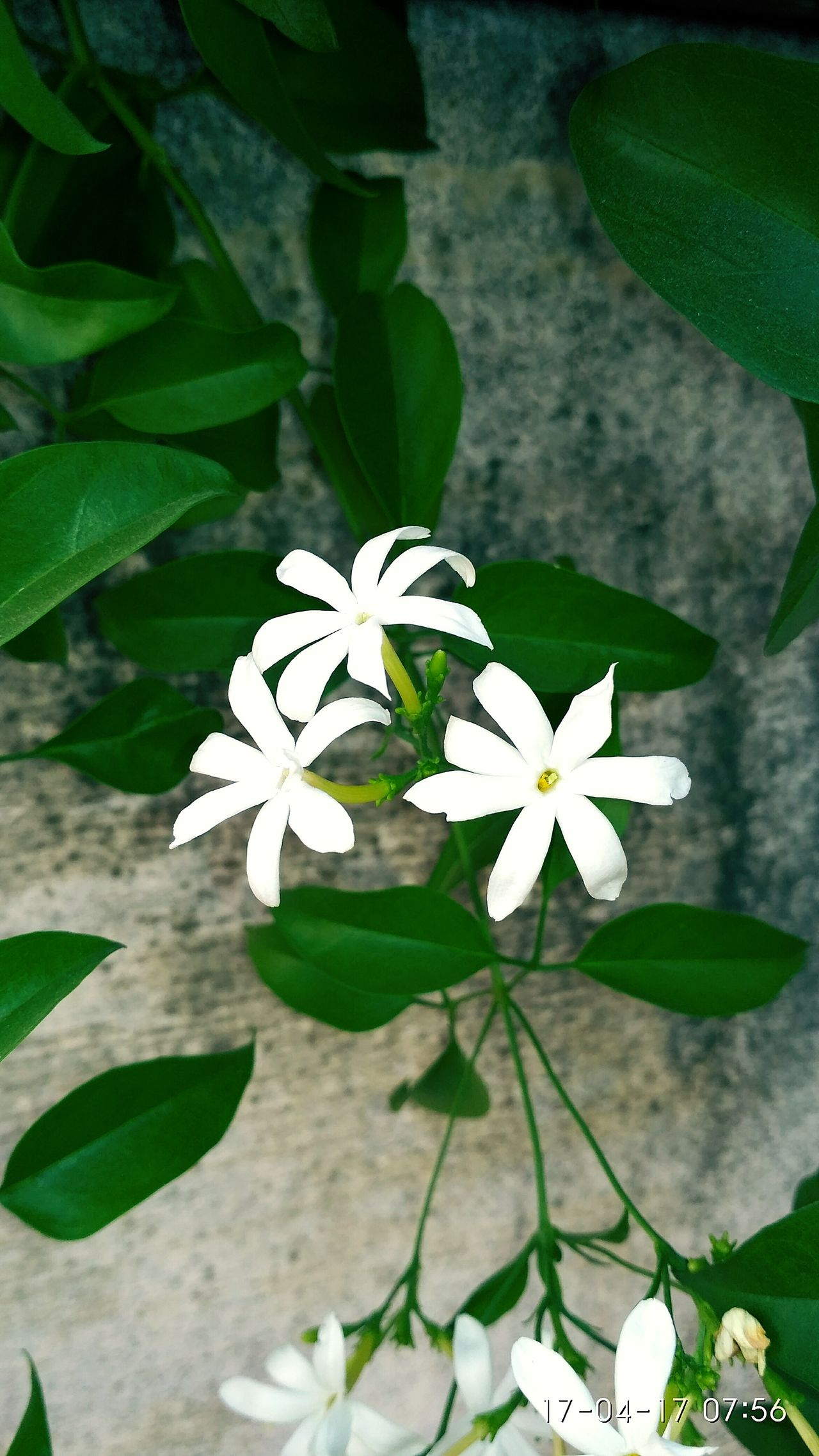 Flower White Color Plant Leaf Flower Head Nature Blossom Green Color Petal Close-up Fragility Freshness No People Outdoors Beauty In Nature Growth Day Scented PicOfMe EyeEm Diversity