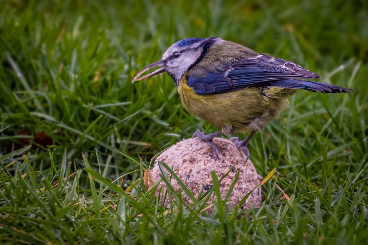 Animal Themes Animal Wildlife Animals In The Wild Bird Bluetit Close-up Day Grass Long Beak Nature No People One Animal Outdoors