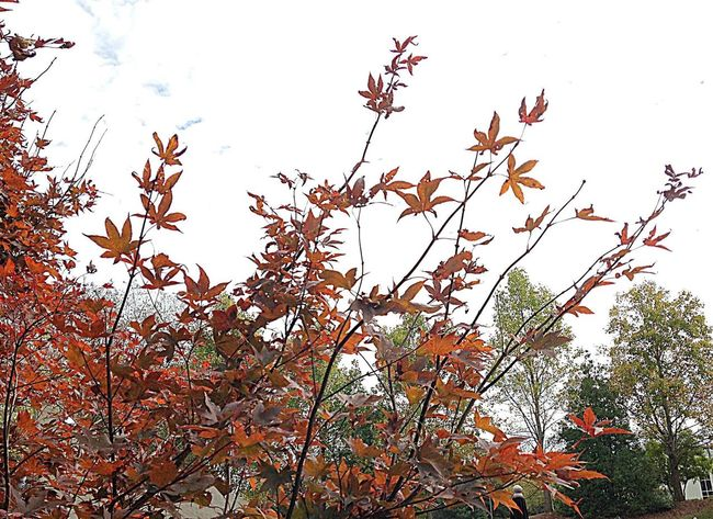 Nature Beauty In Nature Fragility Branch Tree Fall Leaves Fall Colors Fall Beauty Fall Southcarolinapictures Portfolio Photowalks Greatergreenvillesc Yeahthatgreenville IPhoneography Mypointofview 2015 In 365 Photos Low Angle View Day Sky Outdoors Outdoor Photography