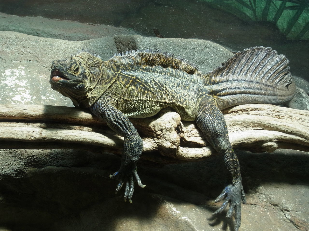 animals in the wild, animal themes, reptile, one animal, rock - object, animal wildlife, no people, day, nature, outdoors, iguana, close-up