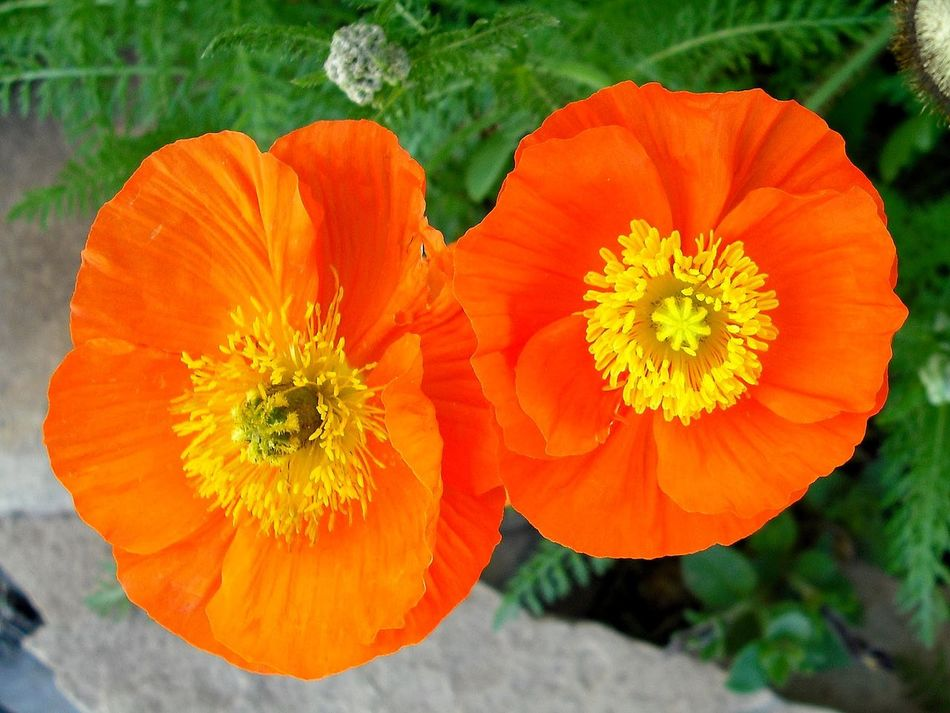 Poppy Flowers Poppies  Poppies In Bloom Bright Colors Bright Flowers Orange Poppy Flower Orange Poppy I Love Flowers Flower Collection Flowers Flowers, Nature And Beauty Flowers_collection No People Orange Blooming Botany Blossoms  Beautiful Nature Garden Photography Growth Pretty Fragrance Of Flowers Fragility Summer Close Up Nature
