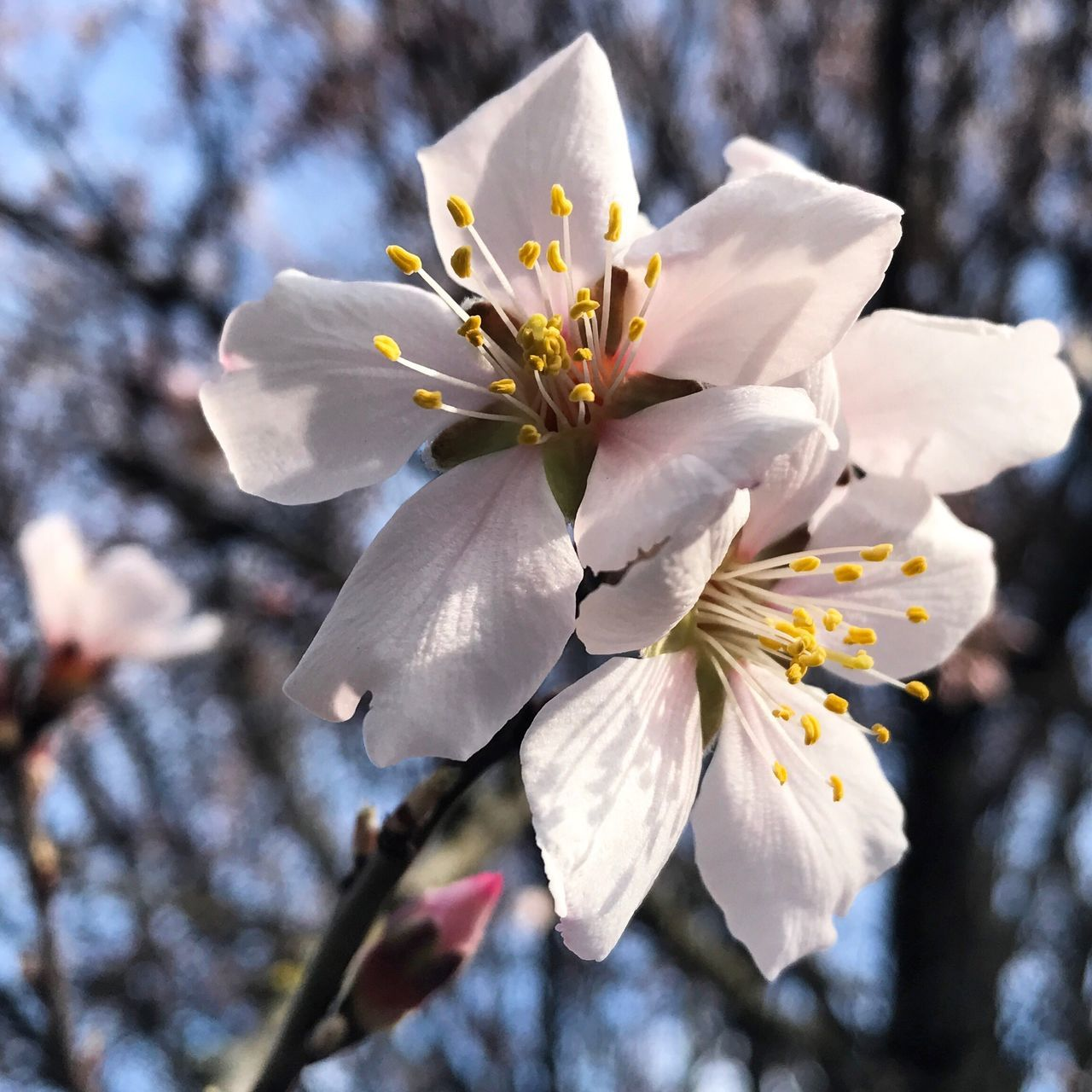 Millennial Pink Flower Close-up Nature Beauty In Nature Growth Petal Fragility Spring Is Coming  Focus On Foreground Flower Collection Spring Spring Flowers Field Freshness Flower Head Springtime Blossom Sunlight No People Day Outdoors Tree Sky Plum Blossom